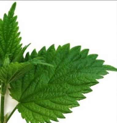 Nettles for Health